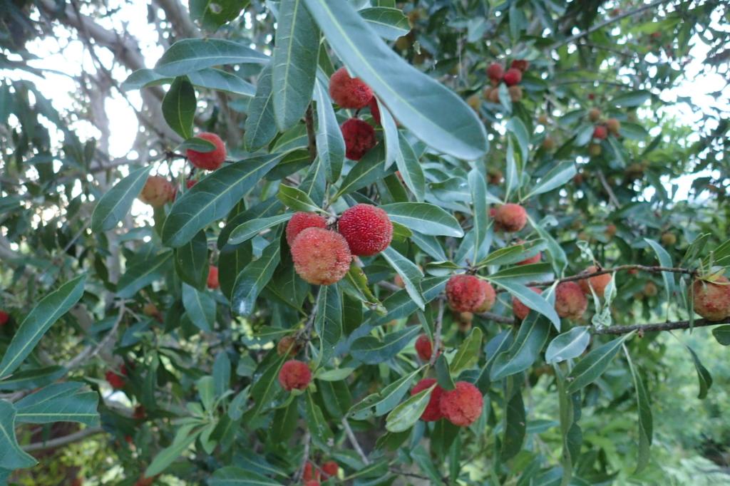 ヤマモモ '広東' の果実